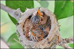 hummingbird babies 3